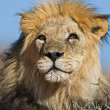 Stock Photo: Portrait of male lion