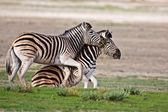 Zebras fighting — ストック写真