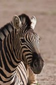 Burchells zebra — Stock Photo