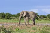 African elephant — Стоковое фото