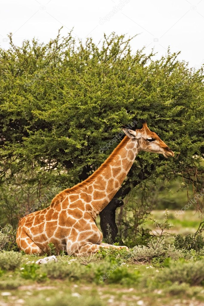 Giraffe; Giraffa Camelopardis; South Africa — Stock Photo #9794815