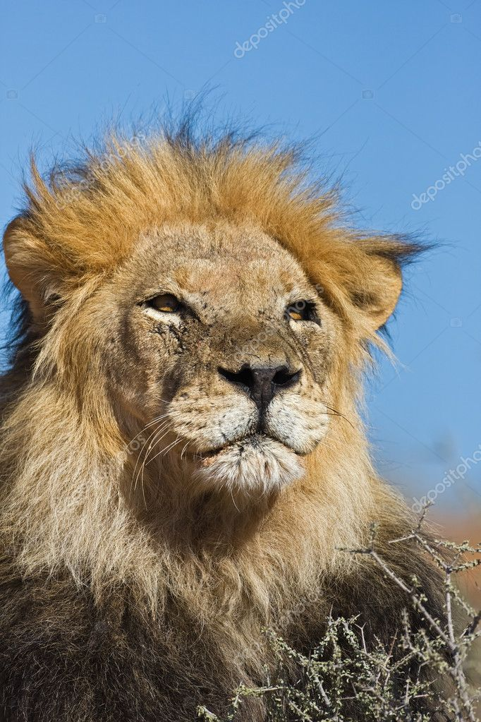 Portrait of male lion; Panthera leo; South Africa — Stock Photo #9798304
