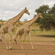 Stock Photo: Two Giraffes