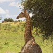 Giraffe — Stock Photo #9923137