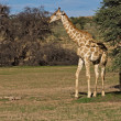 Giraffe — Stock Photo #9923210