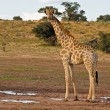 Giraffe — Stock Photo #9923256