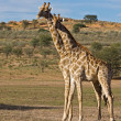 Giraffes — Stock Photo #9923334