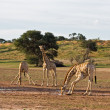 Giraffes — Stock Photo #9923412