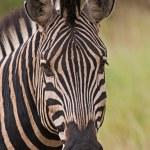 Burchells zebra — Stock Photo #9929900