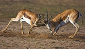 Two Springbok fighting — Stock Photo