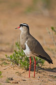 Crowned Lapwing plover — Stock Photo