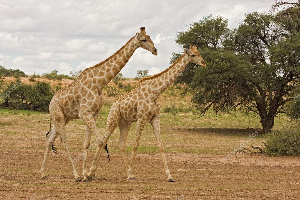 На чём ходит жираф