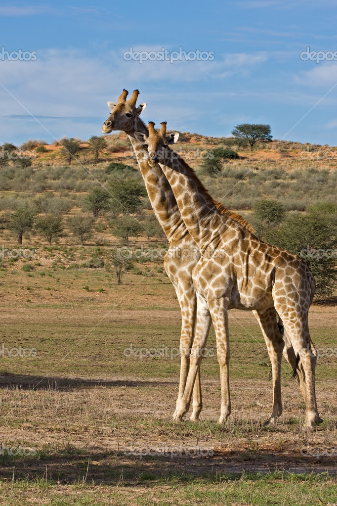 Two Giraffes standing in dry riverbed; Giraffa Camelopardis; Kgalagadi desert; South Africa — Stock Photo #9923334