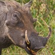 Warthog — Stock Photo #9930281