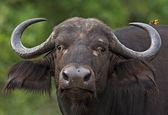 Buffallo — Stock Photo