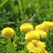 Stock Photo: Yellow dandelions (taraxacum officinale)