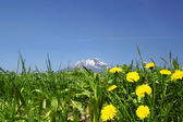 Yellow dandelions (taraxacum officinale) and Mt.Iwate — Stock Photo