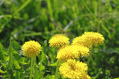 Yellow dandelions (taraxacum officinale) — Stock Photo