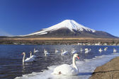 Mt.fuji and swan — Stock Photo