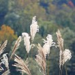 Susuki (Japanese pampas grass) — Stock Photo