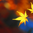 Beautiful maple leaves in Japan — Stock Photo