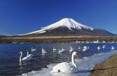 Mt.fuji and swan — Stock Photo