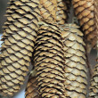 Conifer cone, pinecone — Stock Photo