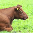 The brown cow on the field — Stock Photo