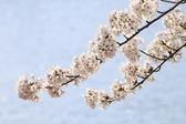 Fleur de la cerise à kakunodate — Photo