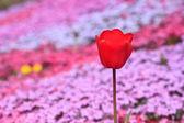 Krásné kvetoucí tulipán — Stock fotografie