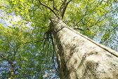 Fagus crenata in Oirase stream — Stock Photo