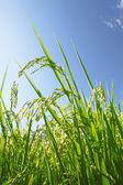 Landscape of rice field with blue sky — Stock Photo