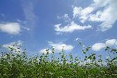 Landscape of Buckwheat field — Stock Photo