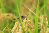 Landscape of rice field and red dragonfly — Stock Photo