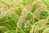 Landscape of rice field — Stock Photo