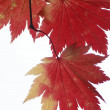 Red maple - Stock Photo