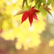 Autumnal colored leaves, maple — Stock fotografie