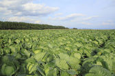 Cabbage in field — Stock Photo
