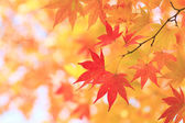 Autumnal colored leaves, maple — Stock Photo