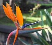 Bird of Paradise — Stock Vector