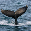 Humpback Whale — Stock Photo #10150875