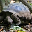 GIANT TURTLE — Stock Photo #10151853