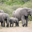 Stock Photo: Bunch of elephants