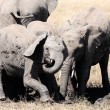Bunch of elephants — Stock Photo