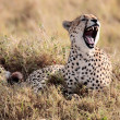 Cheetah — Stock Photo #9709953