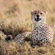 Royalty-Free Stock Photo: Cheetah