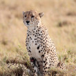 cheetah — Stock Photo #9709965