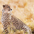 Cheetah — Stock Photo #9709979