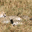 cheetah — Stock Photo #9709985