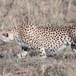cheetah — Stock Photo #9709992